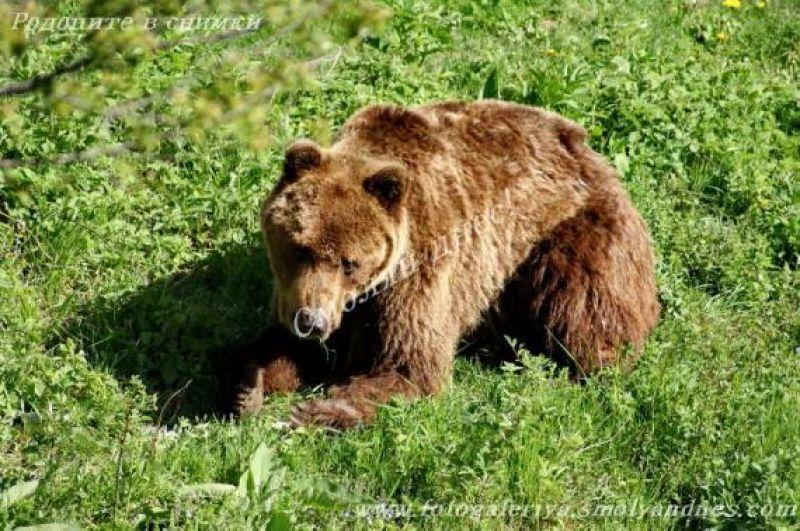 РИОСВ – Смолян провери 23 сигнала за щети от мечки от през месец май