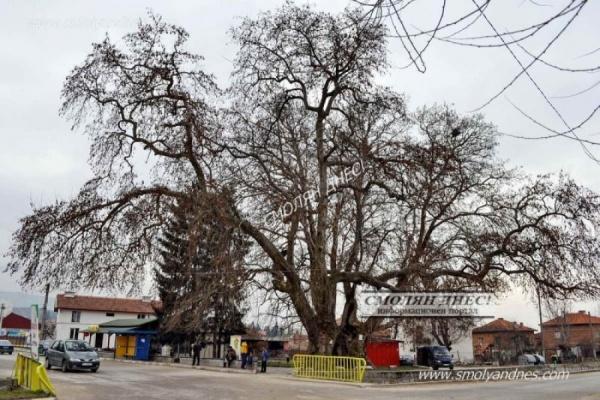 Вековни чинари - село Гърмен