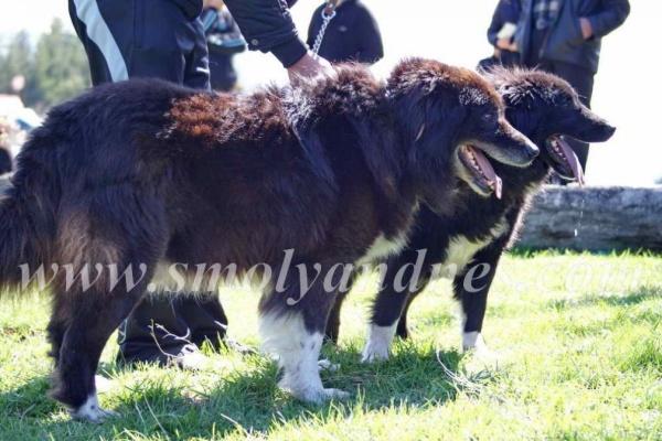 Родопски кехаи журират каракачанки, овцевъдите – на ръба на оцеляването